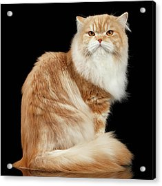 Red Big Adult Persian Cat Angry Sits And Turned Back On Black  Acrylic Print
