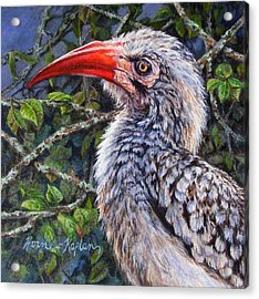 Red Billed Hornbill Acrylic Print
