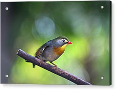 Red Billed Leiothrix Acrylic Print