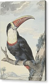 Red Billed Toucan, 1748  Acrylic Print