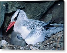 Red-billed Tropicbirds Cuddling  Acrylic Print