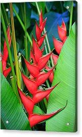 Red Bird Of Paradise Acrylic Print by Stephen Mack