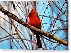 Red Bird Sitting Patiently Acrylic Print