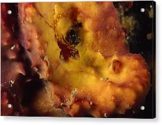 Red Blenny Fish On Yellow Orange Acrylic Print by James Forte