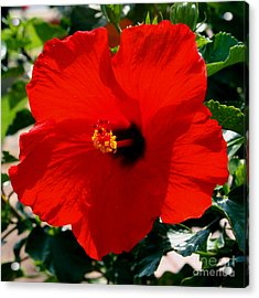 Red Bloomers Acrylic Print by Paul Anderson