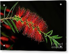 Acrylic Print featuring the photograph Red Bottlebrush By Kaye Menner by Kaye Menner