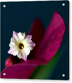 Red Bougainvillea  Acrylic Print by Thanh Thuy Nguyen