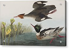 Red-breasted Merganser Acrylic Print by John James Audubon
