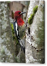 Red Breasted Sapsucker 2 Acrylic Print by Marilyn Wilson