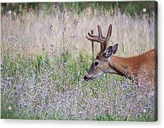 Acrylic Print featuring the photograph Red Bucks 4 by Antonio Romero