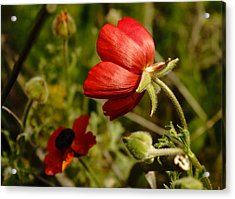 Red Buttercup Acrylic Print