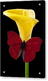 Red Butterfly And Calla Lily Acrylic Print by Garry Gay