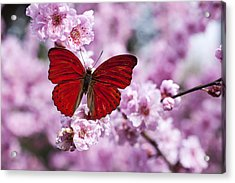 Red Butterfly On Plum  Blossom Branch Acrylic Print by Garry Gay