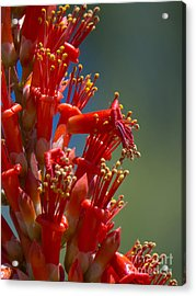 Red Cactus Flower 1 Acrylic Print