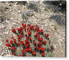 Red Cactus Flowers Acrylic Print by Joan Taylor-Sullivant