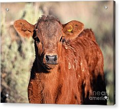 Red Calf Acrylic Print