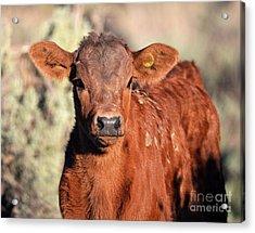 Red Calf Acrylic Print