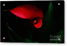 Red Calla Lilly Acrylic Print by Debra Crank