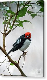 Red Capped Cardinal Acrylic Print