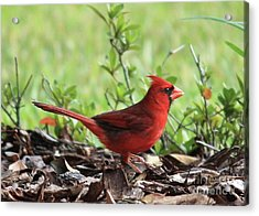 Red Cardinal Acrylic Print by Carol Groenen