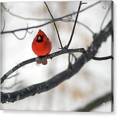 Acrylic Print featuring the photograph Red Cardinal In Snow by Marie Hicks