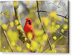 Acrylic Print featuring the photograph Red Cardinal Among Spring Flowers by Charline Xia
