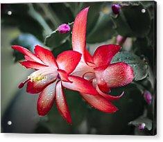 Red Christmas Cactus Acrylic Print