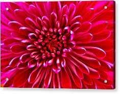 Red Chrysanthemum Acrylic Print