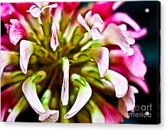 Red Clover Flower Acrylic Print by Ryan Kelly