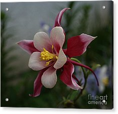 Red Columbine Acrylic Print