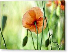 Red Corn Poppy Flowers 02 Acrylic Print by Nailia Schwarz