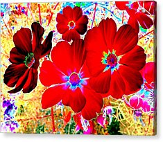 Red Cosmos Acrylic Print by Will Borden