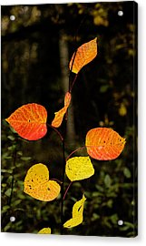 Acrylic Print featuring the photograph Red Cottonwood Leaves by Fred Denner