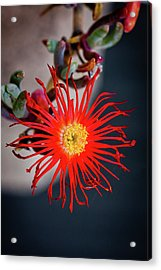 Red Crab Flower Acrylic Print