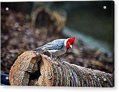 Red Creasted Cardinal Acrylic Print
