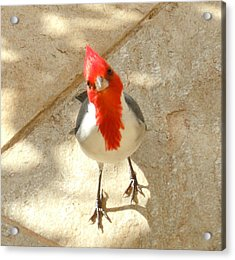 Red-crested Cardinal At My Feet Acrylic Print