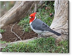 Red Crested Cardinal Male Acrylic Print