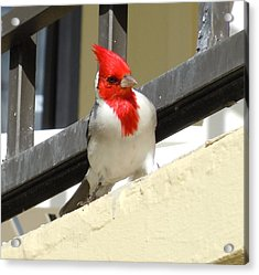 Red-crested Cardinal Posing On The Balcony Acrylic Print