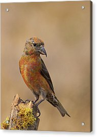 Red Crossbill Acrylic Print by Doug Herr