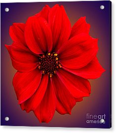 Acrylic Print featuring the photograph Red Dahlia-bishop-of-llandaff by Brian Roscorla