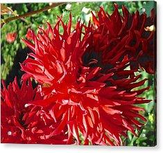 Red Dahlia Pizazz  Acrylic Print