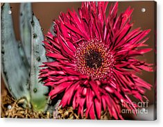 Acrylic Print featuring the photograph Red Daisy And The Cactus by Diana Mary Sharpton