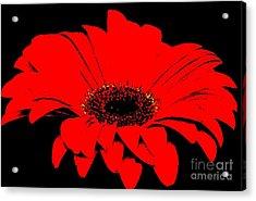 Red Daisy On Black Background Acrylic Print by Marsha Heiken
