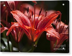 Red Day Lily 20120615_52a Acrylic Print