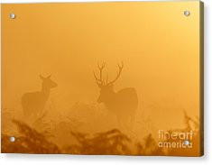 Red Deer At Sunrise Acrylic Print
