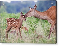Red Deer - Cervus Elaphus - Female Hind Mother And Young Baby Calf Acrylic Print