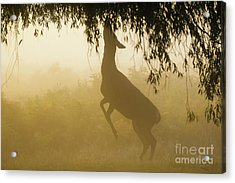 Acrylic Print featuring the photograph Red Deer - Cervus Elaphus - Hind Browsing Or Feeding On Willow Le by Paul Farnfield