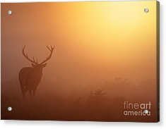 Red Deer Stag At Sunrise Acrylic Print