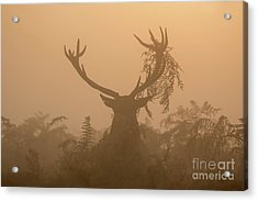 Red Deer Stag Cervus Elaphus Displaying At Sunrise With Bracken On Antlers Acrylic Print