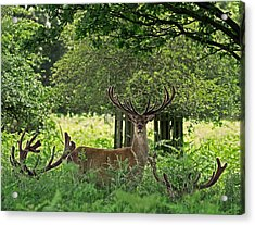 Red Deer Stag Acrylic Print by Rona Black